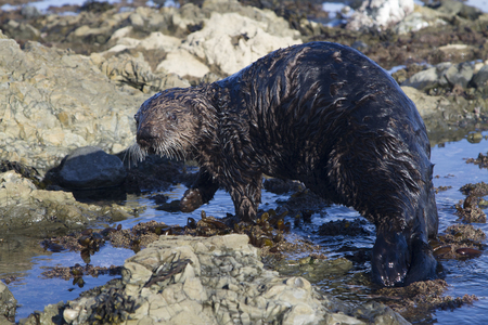 sea otter which walks along shallow water to the water on a winter sunny day