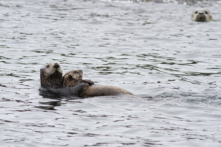 female Sea otter with a calf that swims along the shore