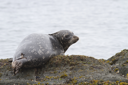 Harbor seal which lies on a reef plate at low tide