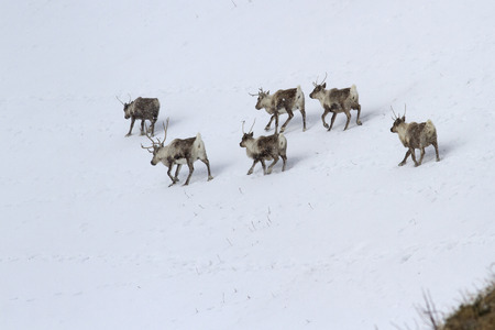 herd of Reindeerwalking along the slope of a snow-covered hill in a winters day