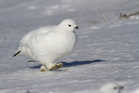 Rock ptarmigan female walking along the snow in the snow-covered tundra on a sunny winter day