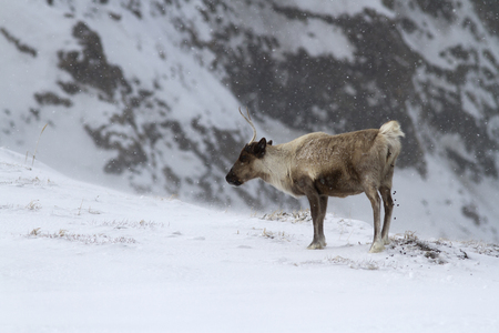 A reindeer standing in a snowfall in the tundra on a hillside