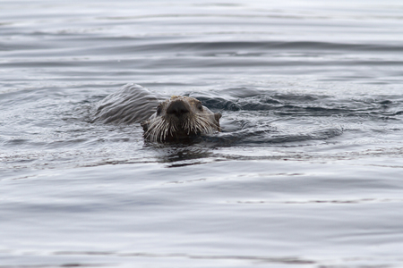 The head of a sea otter floating in the water near the shore in winter Stock Photo