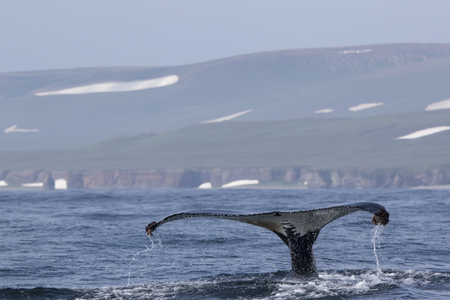 whale humpback diving in the waters of the Pacific Ocean against the backdrop of the hills and mountains of Bering Island Stock Photo