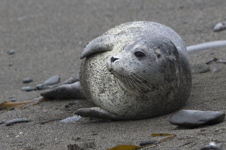 Harbor seal lying on a sandy beach that turned his head and looks into the distance