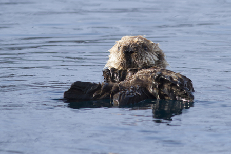 The puppy of the sea otter floating on the spring sunny afternoon near the island of Bering Stock Photo