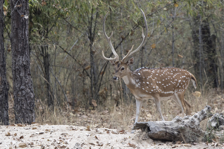 adult male Chital or spotted deer walking on the edge of the forest on a winter day Stock Photo
