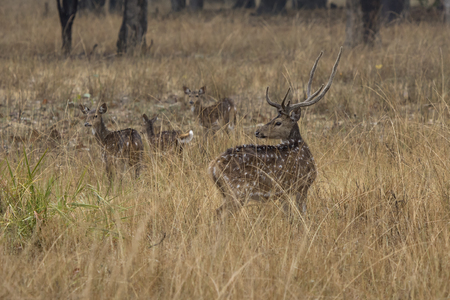 small herd of Chital or spotted deer grazes on a meadow on a rainy winter day