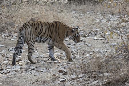Frau des Bengal-Tiger , der auf einer Waldlichtung an einem Wintermorgen geht Standard-Bild - 96405252