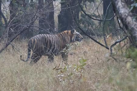 Großer männlicher der Bengal-Tiger , der auf einer Waldlichtung an einem Wintermorgen geht Standard-Bild - 96454997
