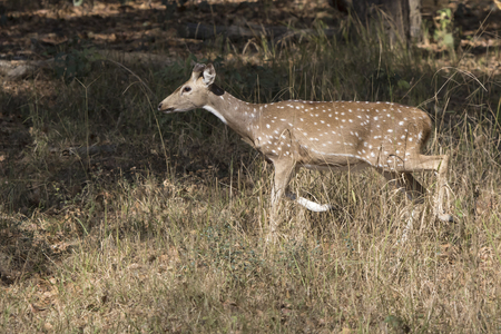 male Chital or spotted deer who just started to grow horns walking through a meadow at the edge of the forest
