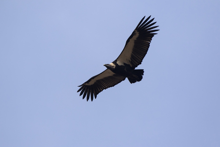 White-rumped Vulture flying in a blue sky on a winter sunny day Stock Photo