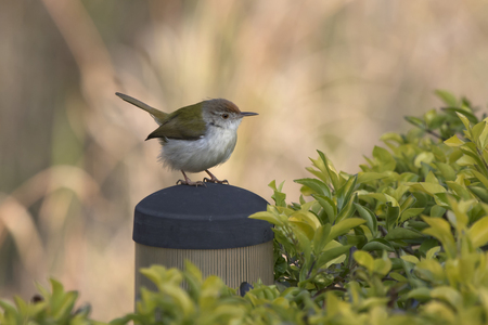 Common Tailorbird that sits on an artificial perch among bushes Фото со стока
