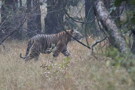 male Bengal tiger who walks in the forest on an overcast rainy day Standard-Bild - 102367767