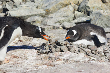 male penguin gentoo which brought to the nest in which the female sits a stone Reklamní fotografie - 102442847