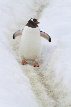Gentoo Penguin who stands on the trail trampled in the snow by penguins Stock Photo