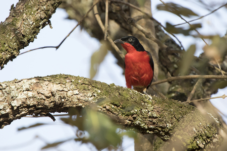 Black-headed Gonolek that sits on a thick branch of a tree in an African bush