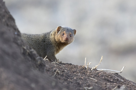 Dwarf Mongoose that peeps out of the tree in the African savanna