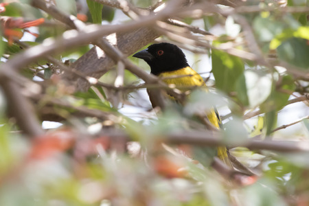 Golden-backed Weaver that hid in the bushes and peeps out of them