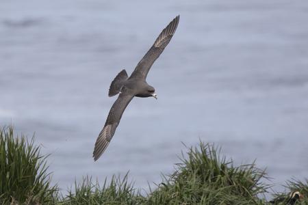 northern fulmar dark morph that flies over a grassy slope