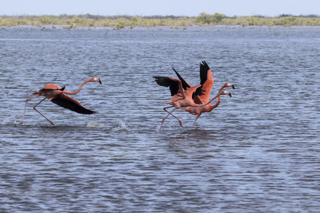 group of American flamingo that take off from the shallow water of the lagoon in the mangrove forest of the Zapata Peninsula Banco de Imagens