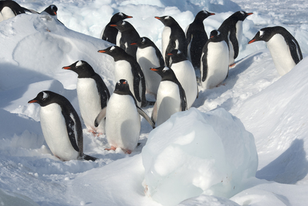 group of Gentoo Penguin standing among the floes on a snowy shore on a sunny winter day Stock Photo