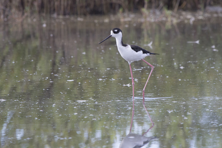 black-necked stilt that walks through the shallow water of a small lagoon in the mangroves Stock Photo