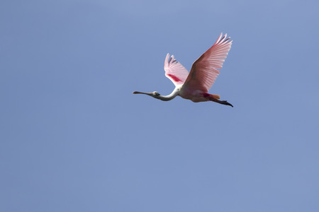 roseate spoonbill flying over the marshes on a bright sunny day Stock Photo