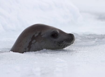 crabeater seal sticking its head out of the hole and laying it on the ice