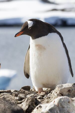 Gentoo penguin standing on a rock by the ocean Stock Photo