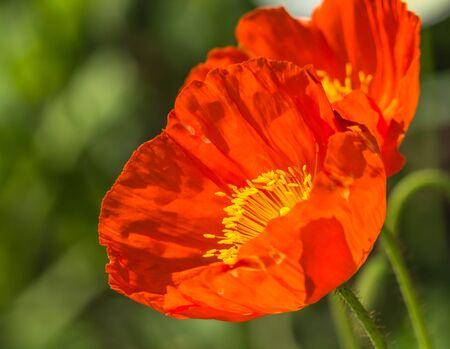 Closeup of a wonderful poppy flower  Reklamní fotografie