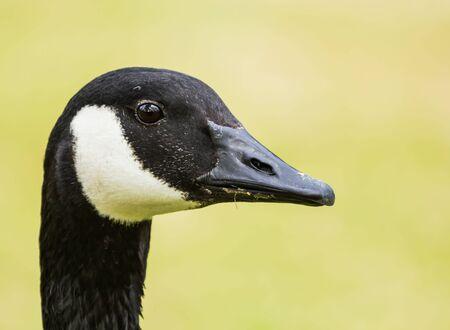 Closeup of a curious goose