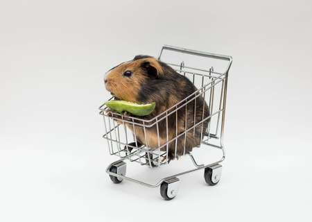 Guinea pig sitting in a shopping cart on isolated background