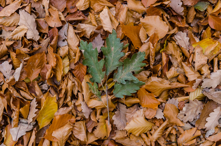 Colorful leaves on the ground - green oak and orange leaves - forest or park ground scene