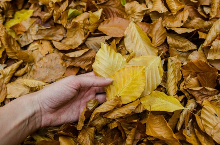 Hand hold a yellow autumn leaf - int the background more colorful leaves - park or forest ground scene