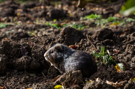 Guinea pig walk outside in the garden in the plowed land searching for food - autumn scene