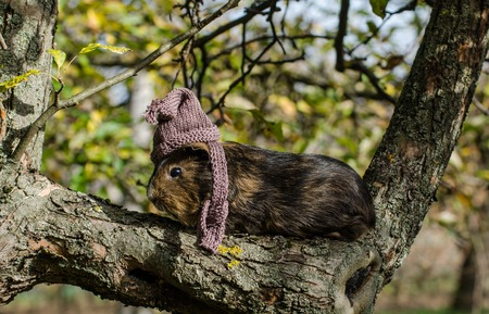 Guine pig wears knitted scarf and cup and sits on a tree - funny autumn scene from the garden Imagens