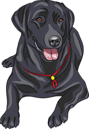 big: smiling black gun dog breed Labrador Retriever lying