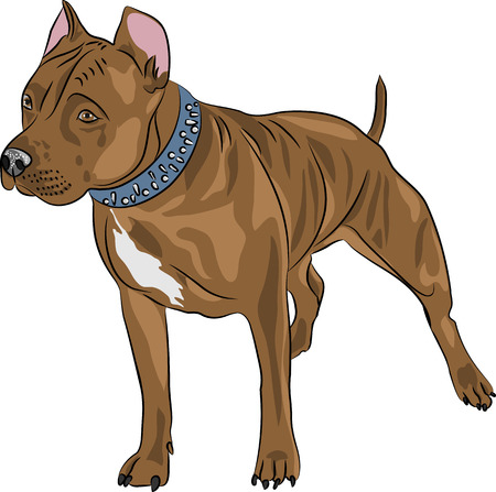 terrier: Illustration  Staffordshire Terrier isolated on a white  Illustration