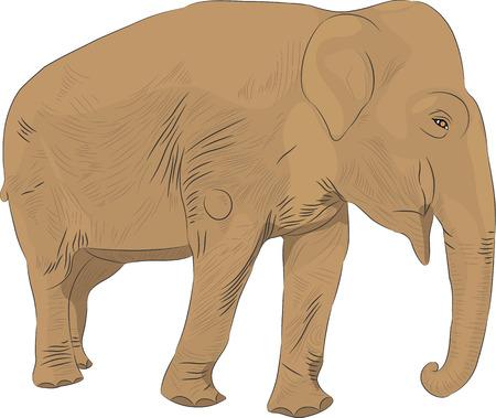 indian elephant: Vector elefante indio aislado en el fondo blanco