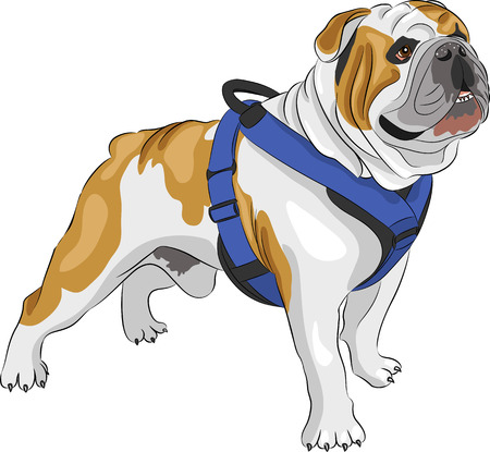 dog rock: dog breed english bulldog isolated on white background