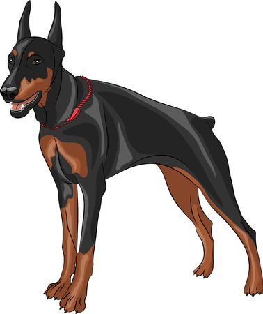 snarling: dog breed Doberman pinscher isolated on white background