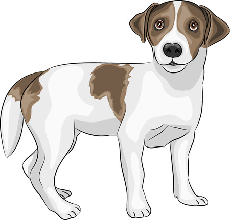 jack russell: dog breed Jack Russell Terrier isolated on a white background Illustration