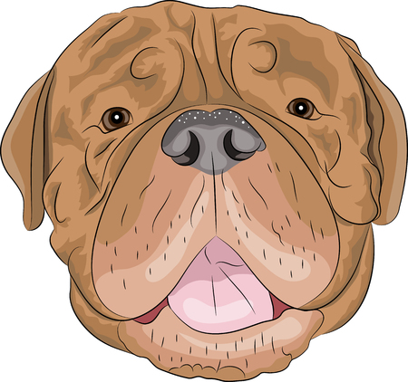 french mastiff: Dogue de Bordeaux head close-up isolated on white background Illustration