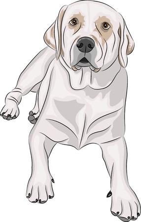 labrador raza de perro aislado en fondo blanco