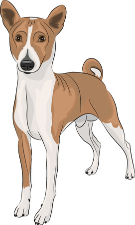 Basenji breed dog isolated on a white background Vector