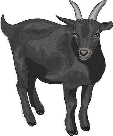 young black goat isolated on white background