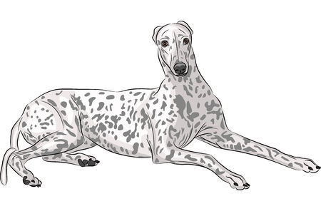 chasing tail: breed dog Whippet lying  isolated on a white background Illustration