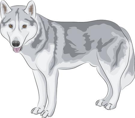 Czechoslovakian Wolfdog isolated on white background Vector