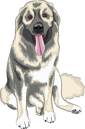 caucasian shepherd: caucasian shepherd dog sitting isolated on a white background Illustration